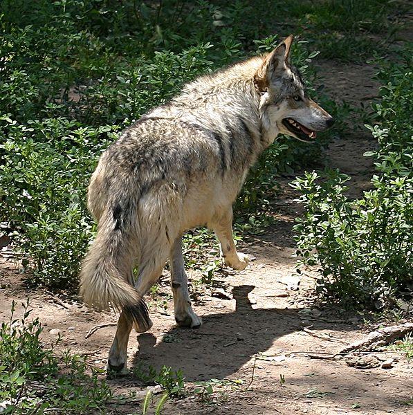گرگ ها